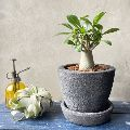 塊根植物・コーデックスってどんな植物? おすすめの種類と育て方のコツ