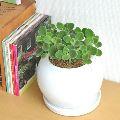 虫除けになる? 話題の植物、アロマティカスの育て方や増やし方