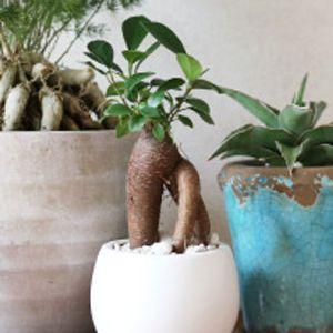 ガジュマルは観葉植物界の人気モノ。育て方やおしゃれに飾るポイントは?