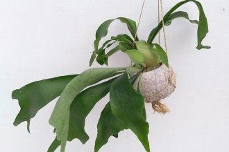 壁掛けしたり吊したり。コウモリラン(ビカクシダ)の育て方と飾り方