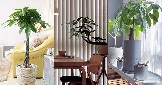 パキラを部屋に飾ろう。育て方のコツと部屋をおしゃれに見せる方法