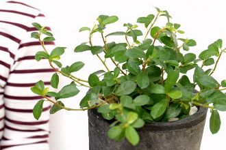定番観葉植物のフィカスとは? その仲間や育て方のコツとおしゃれなインテリア例