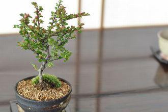 室内で四季を楽しむミニ盆栽。育て方と初心者向けのおすすめ12種
