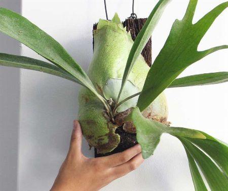 コウモリラン(ビカクシダ)ってどんな植物? 2枚目の画像