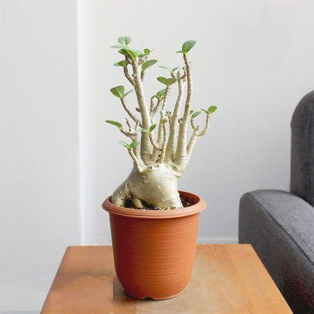 塊根植物(コーデックス)ってどんな植物?