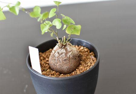大人男子もハマる。塊根植物の魅力って?