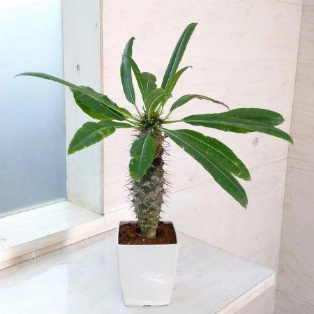 塊根植物(コーデックス)のトリセツ。「育てる」と「飾る」にメリハリを