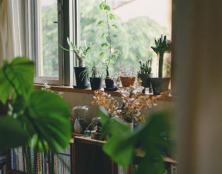 シンプルに窓辺に並べて樹形の個性を楽しむ