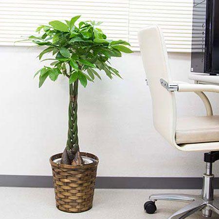観葉植物の中でもパキラが人気の理由 2枚目の画像