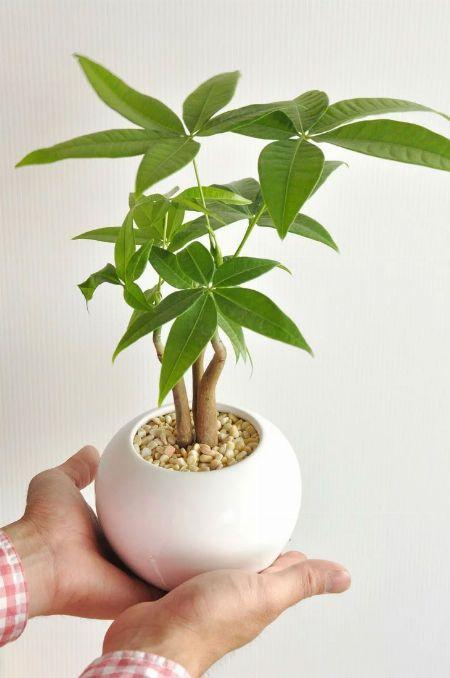 観葉植物の中でもパキラが人気の理由 3枚目の画像