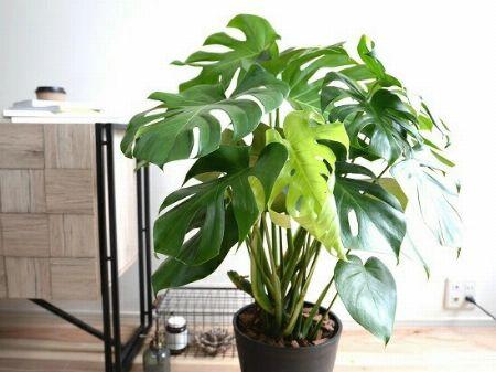 観葉植物の定番で人気のモンステラとは