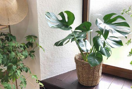 観葉植物の定番で人気のモンステラとは 2枚目の画像
