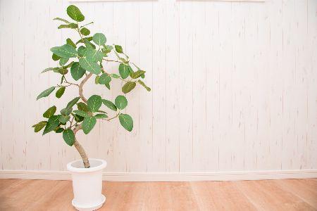 インテリアグリーンとして人気。フィカス属の観葉植物とは?