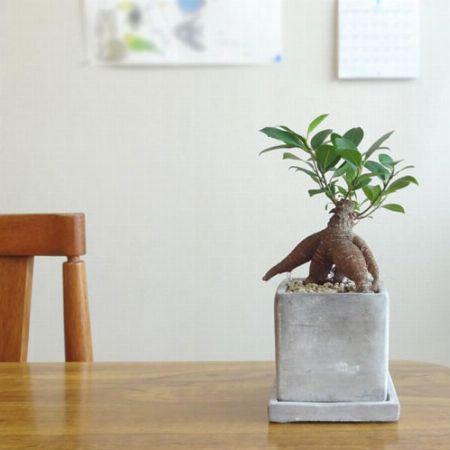 個性的な見た目がかっこいい。人気の観葉植物、ガジュマル
