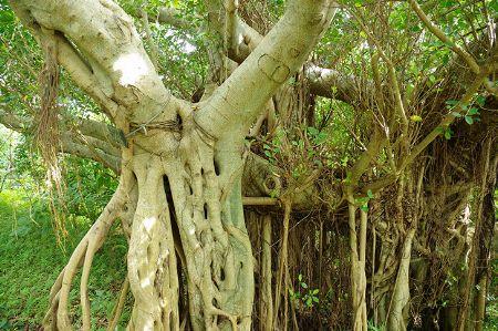 個性的な見た目がかっこいい。人気の観葉植物、ガジュマル 2枚目の画像