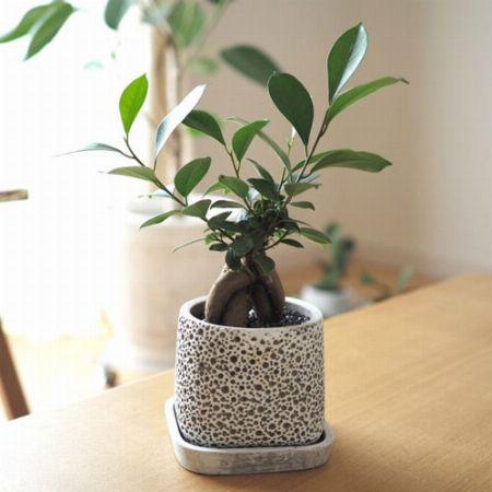 ガジュマルは植物初心者にも人気。その理由とは?