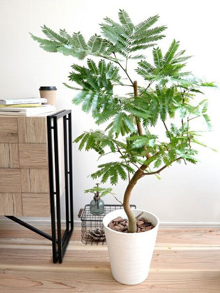 人気の観葉植物。エバーフレッシュってどんな品種?