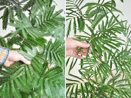 人気の観葉植物。エバーフレッシュってどんな品種? 2枚目の画像