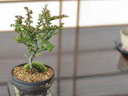紅紫檀(ベニシタン)