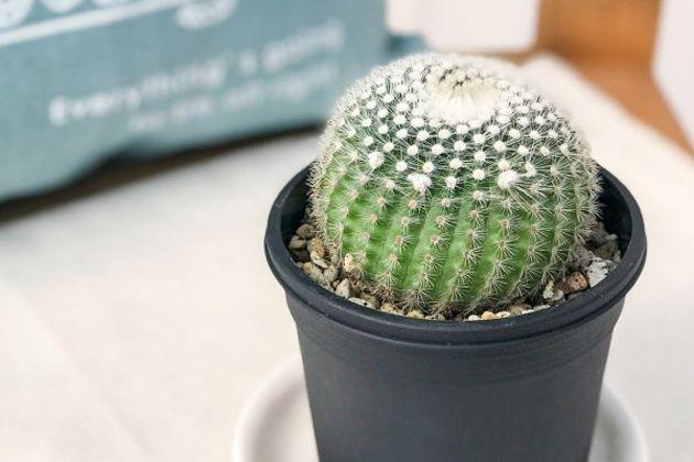 サボテンを育てて飾ろう。初めての1鉢におすすめなのはこの10種